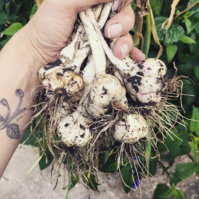 garlic, harvest, summer, gardening, Anne Butera, My Giant Strawberry