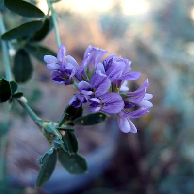 eight acres: how I use herbs - lucerne (alfalfa)