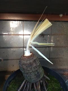 bahan coco bonsai