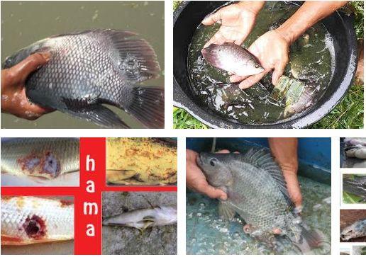 Hama dan Penyakit Ikan