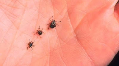 lone star tick danger