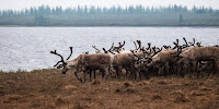 Reindeer herds in the warming northern Siberia region could be carrying the anthrax bacterium. (Image Credit: Aleksandr Popov via Flickr) Click to Enlarge.