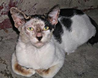 Penyakit Pada Kucing Kampung