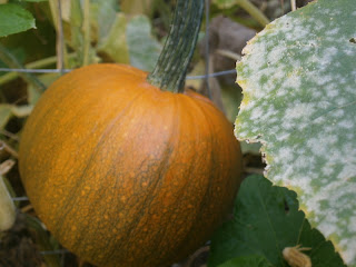 small pumpkin on vine