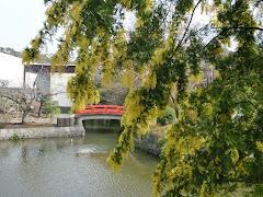 平家池のミモザ