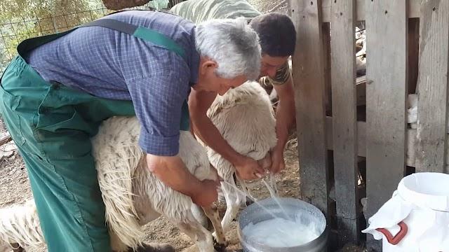 Παρεμβαίνει εισαγγελέας για τη νοθεία στη φέτα και το πρόβειο γάλα στη Θεσσαλία