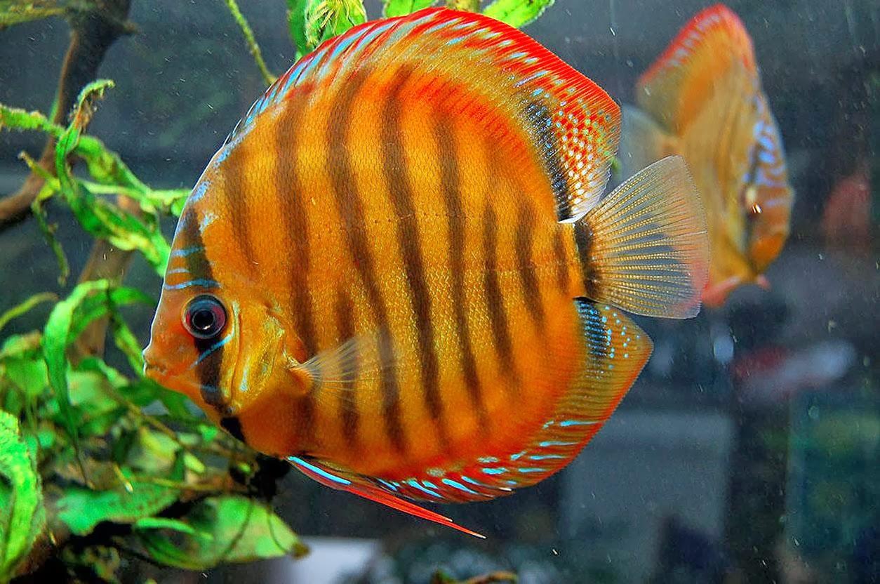 fish share: IKAN HIAS SYMPHYSODON YANG CANTIK 2