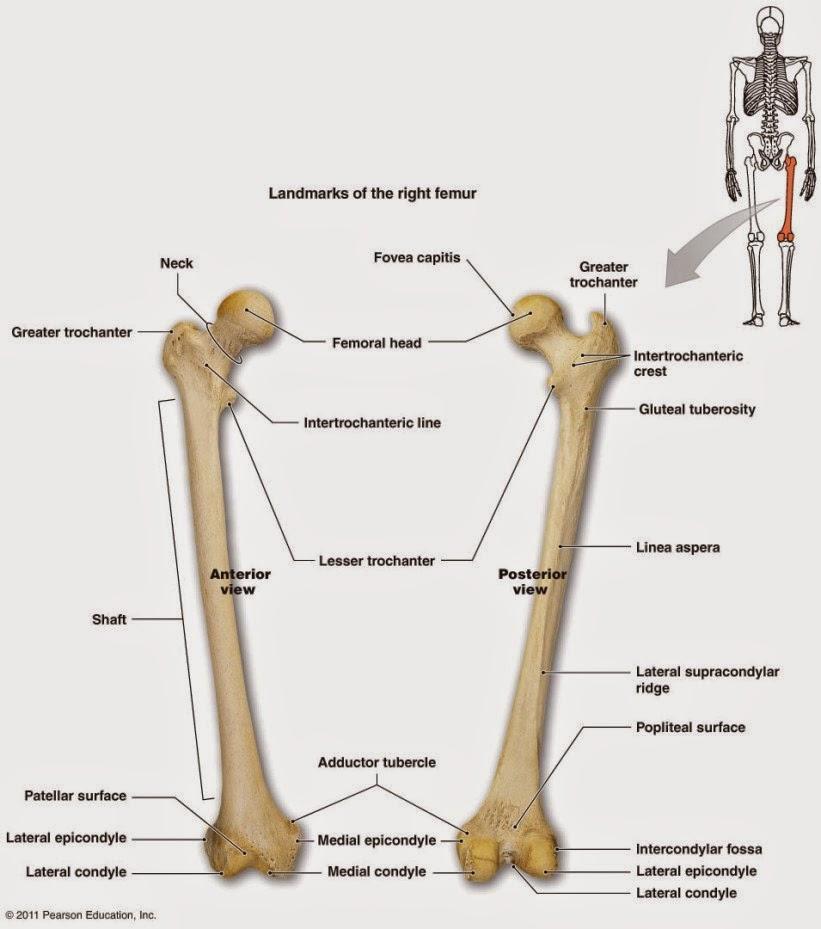 Neck, femoral head, shaft, medial condyle, medial epicond
