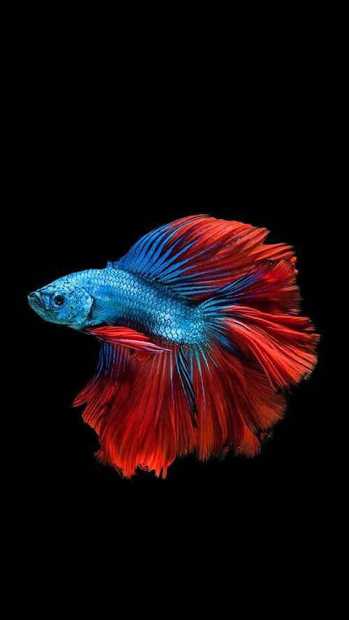 Sakuhina Fish | Mobile Wallpaper