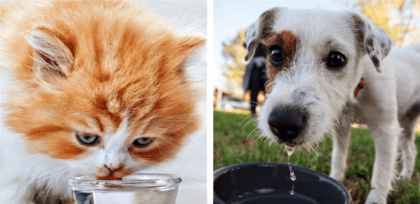 A Cat And A Dog Drinking Water