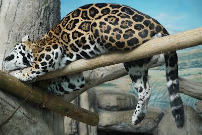 寝ているジャガー