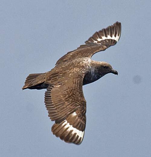 Birds of India - Picture of South polar skua - Catharacta maccormicki