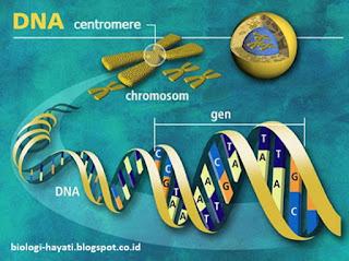 Genetika, Hukum Mendel 1 dan Hukum Mendel 2