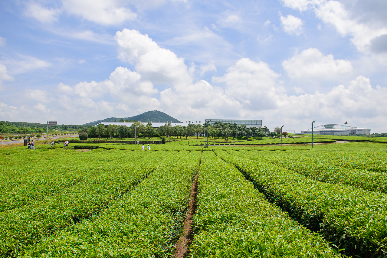O'sulloc green tea jeju korea farm