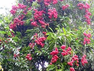 tanaman buah leci dataran rendahBibit Pohon Leci