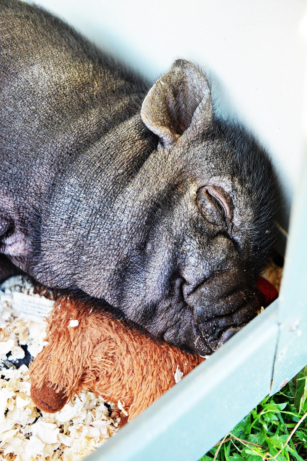 verdens tjukkeste gris