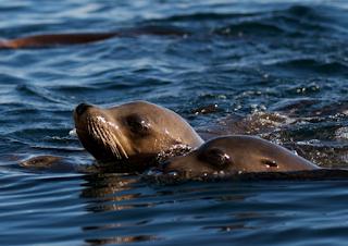 hewan terpintar dan tercerdas di dunia - singa laut