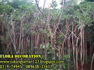 Jual tanaman pelindung pohon tabibuya bunga kuning harga murah