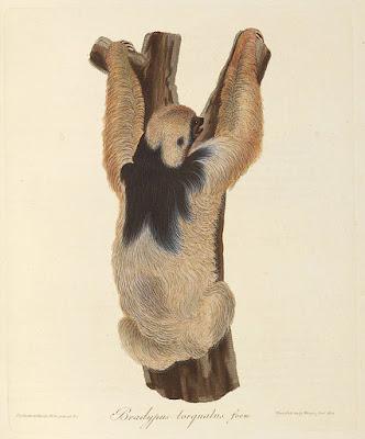 three-toed sloth, Maximilian Wied, Abbildungen zur  Naturgeschichte Brasiliens, 1822