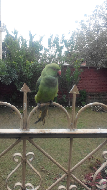 Ammar Imtiaz's  Parrot Braowo sitting