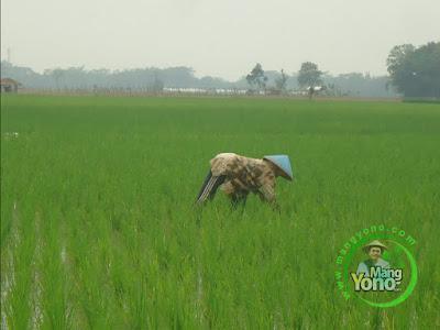 FOTO 2 : Tanaman Padi TRISAKTI 19 HST   Melakukan Penyiangan Rumput  dengan Ngarambet