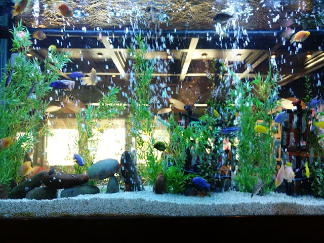 Fish tank at Cheddar's #ad