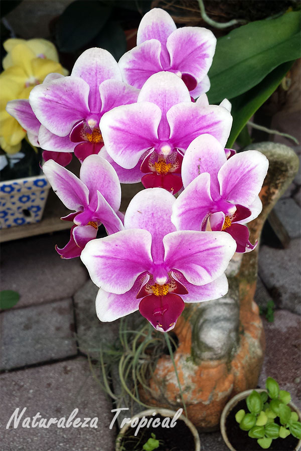 Floración de una orquídea del género Phalaenopsis