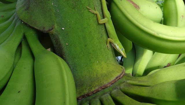Green anole lizard atop banana crop