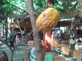 Buah Coklat yang menguning di Kampung Coklat, Blitar