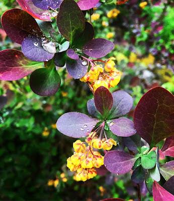 pienet keltaiset kukat tumman punaiset purppurat lehdet purppurahappomarja happomarja