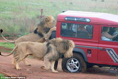 Hungry lions ate the tries flat, and tried to smash the vehicles window