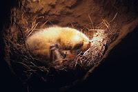 Toprak altındaki yuvasında kış uykusuna yatmış olan bir yer sincabı