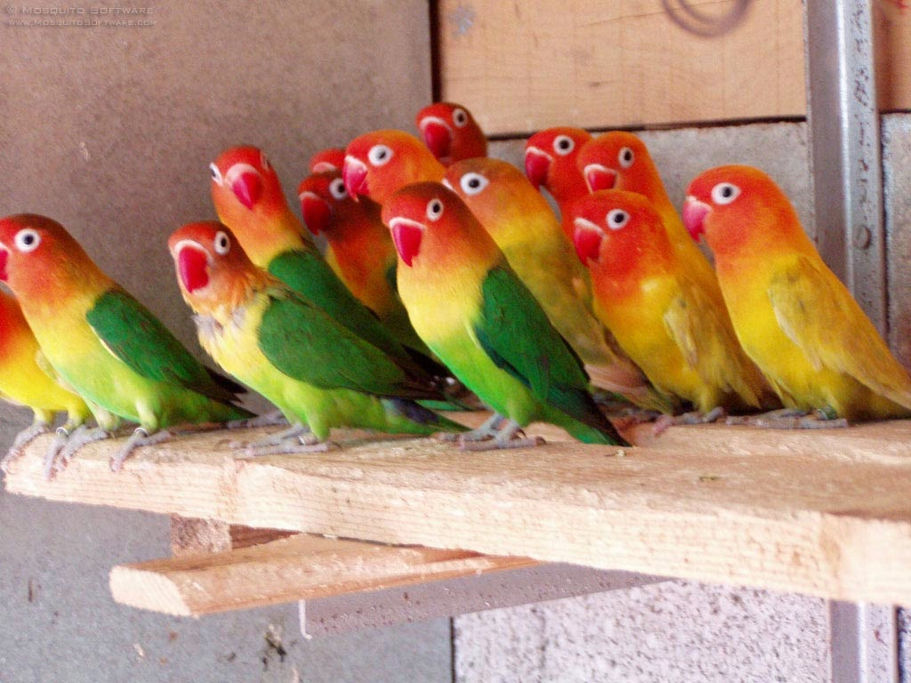 Daftar Harga Lovebird Tahun 2013di Jawa  Pantauan Harga Jual Lovebird Di Pasar Surabaya Mei Juni 2014 Majalah