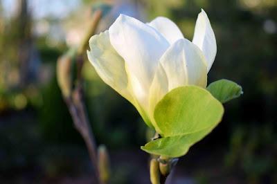 Magnolia odmiany 'Elizabeth'
