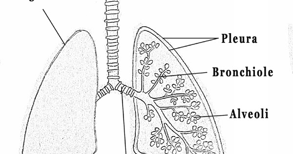 diagram of the lungs simple