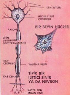 Hücrelerin Görevlerine Göre Yapıları