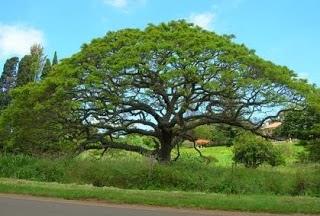 inilah gambar pohon trembesi