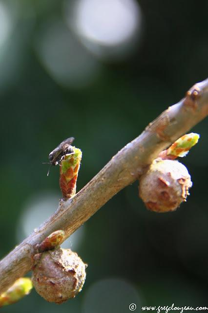 Cynips, sur bourgeon de chêne, Fontainebleau, (C) 2015 Greg Clouzeau
