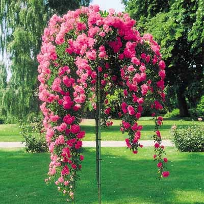 http://judyscottagegarden.blogspot.com/2013/11/how-to-care-for-standard-tree-roses.html