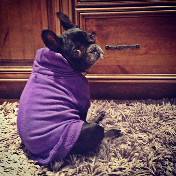 frenchie in a sweatshirt