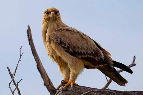 Indian birds - Image of Tawny eagle - Aquila rapax