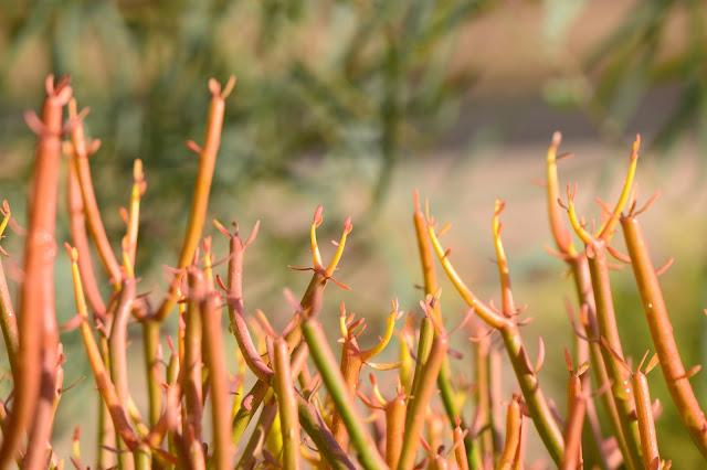 small sunny garden, desert garden, amy myers, photography, about the garden, plant selection, euphorbia tirucalli, firesticks