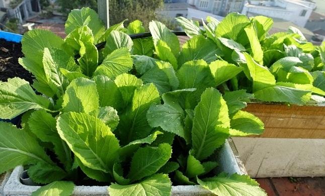 Cách trồng rau cải & trồng rau cải bẹ trong thùng xốp