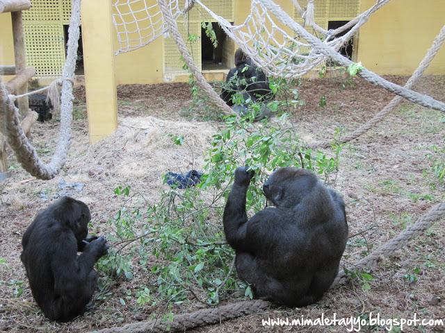Gorilas en el Parque Natural de Cabárceno, Santander