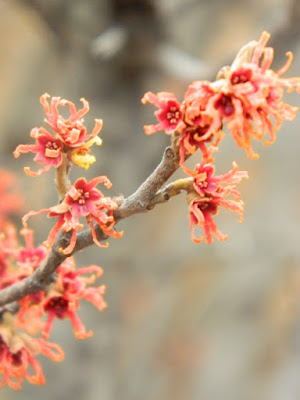 At Allan Gardens Hamamelis x intermedia Diane witch hazel late winter blooms by garden muses-not another Toronto gardening blog