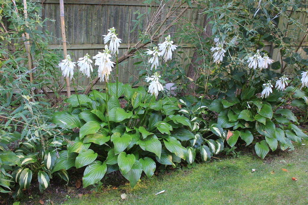 Red House Garden: What's That Smell? Fragrant Hostas?