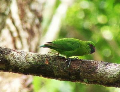 Green pymgy parrot