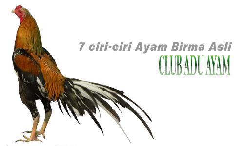 7 Ciri-ciri Ayam Birma Asli