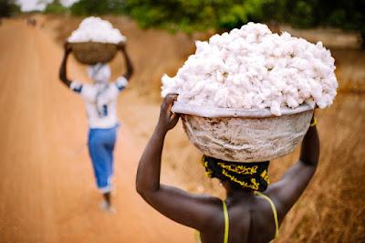 Farming cotton in Benin.