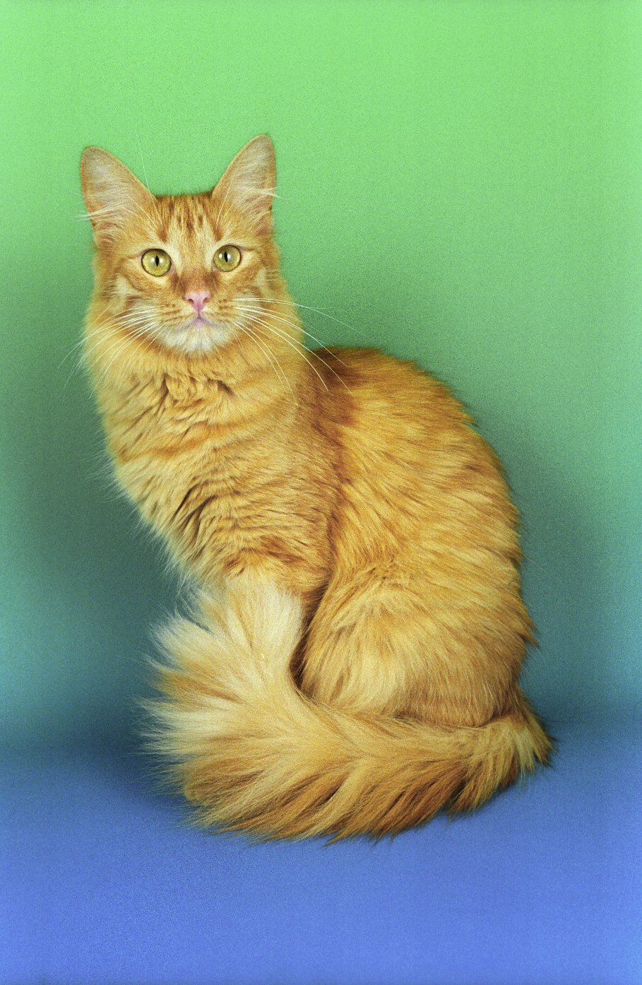 Turkish Angora Cat - Cats of the world